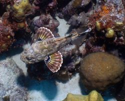 Scorpion fish - Taken in Bonaire.